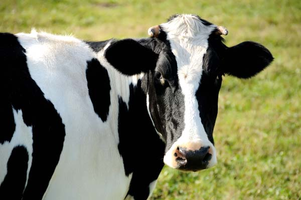 Image of black and colorless cow.